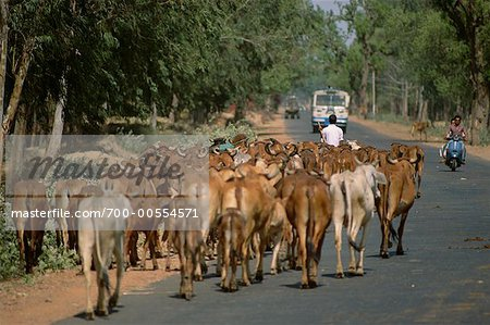 Herd of Cattle Walking Down Road, Rajasthan, India Stock Photo - Rights-Managed, Image code: 700-00554571
