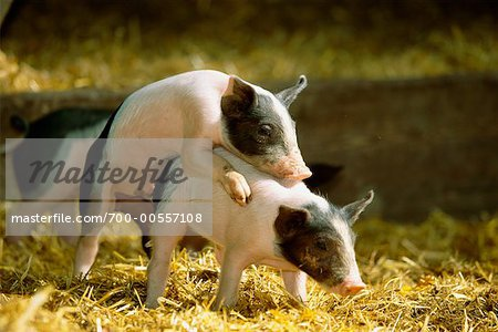 Pigs Mating Stock Photo - Premium Rights-Managed, Artist: F. Lukasseck ...
