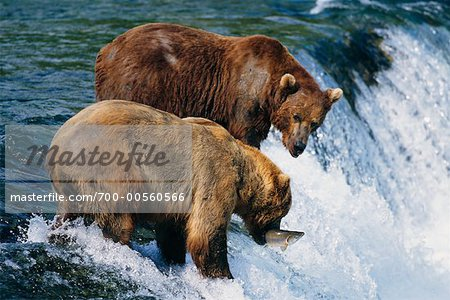 Grizzly Bears Catching Fish, Katmai National Park, Alaska, USA Stock Photo - Rights-Managed, Image code: 700-00560566