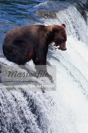 Grizzly Bear Catching Fish, Katmai National Park, Alaska, USA Stock Photo - Rights-Managed, Image code: 700-00560567