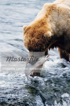 Grizzly Bears Catching Fish, Katmai National Park, Alaska, USA Stock Photo - Rights-Managed, Image code: 700-00560569