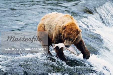 Grizzly Bears Catching Fish, Katmai National Park, Alaska, USA Stock Photo - Rights-Managed, Image code: 700-00560570