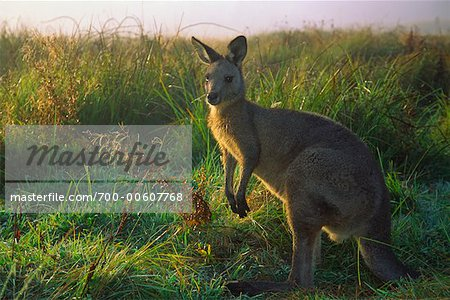 Eastern Grey Kangaroo, Geehi, Kosciuszko National Park, New South Wales, Australia