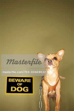 Chihuahua with Beware of Dog Sign Stock Photo - Premium Rights-Managed