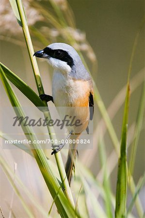 Long Tailed Shrike Stock Photo - Rights-Managed, Image code: 700-00800824