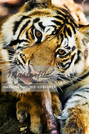 Tiger Eating Stock Photo - Rights-Managed, Image code: 700-00800839