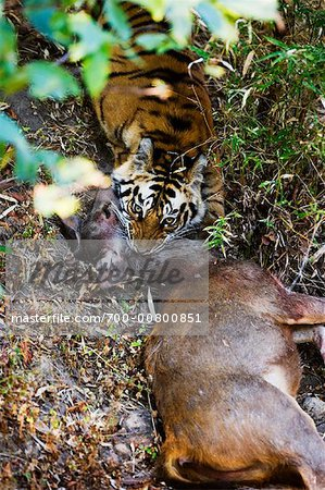 Tiger with Sambar Deer Kill, Bandhavgarh National Park, Madhya Pradesh, India Stock Photo - Rights-Managed, Image code: 700-00800851