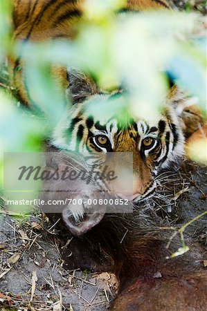Tiger with Sambar Deer Kill, Bandhavgarh National Park, Madhya Pradesh, India Stock Photo - Rights-Managed, Image code: 700-00800852