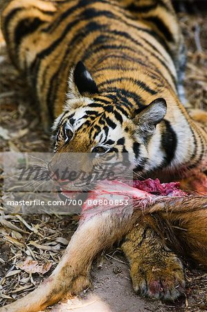 Tiger with Sambar Deer Kill, Bandhavgarh National Park, Madhya Pradesh, India Stock Photo - Rights-Managed, Image code: 700-00800853