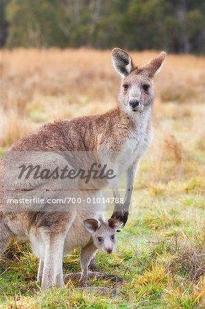 Eastern Grey Kangaroos, Kosciuszko National Park, New South Wales, Australia