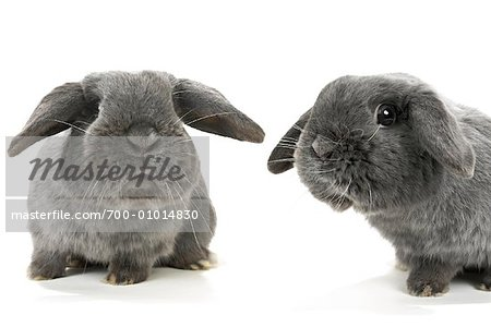 Two Lop-Eared Rabbits Stock Photo - Rights-Managed, Image code: 700-01014830