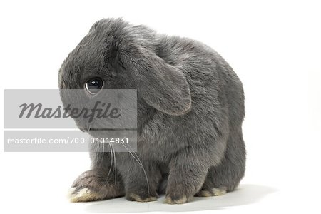 Lop-Eared Rabbit Stock Photo - Rights-Managed, Image code: 700-01014831