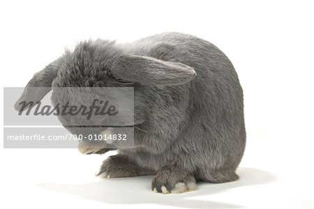 Lop-Eared Rabbit Cleaning Face Stock Photo - Rights-Managed, Image code: 700-01014832