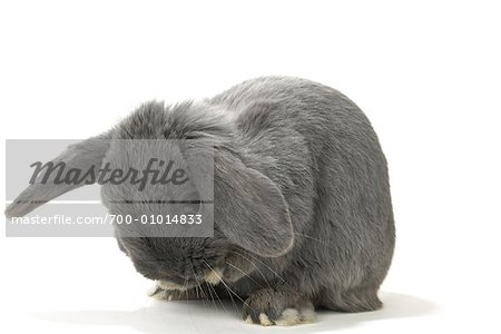 Lop-Eared Rabbit Stock Photo - Rights-Managed, Image code: 700-01014833