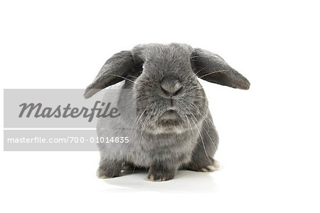 Lop-Eared Rabbit Stock Photo - Rights-Managed, Image code: 700-01014835