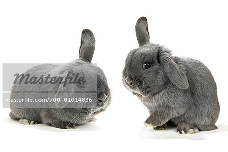 Two Lop-Eared Rabbits Stock Photo - Rights-Managed, Image code: 700-01014836