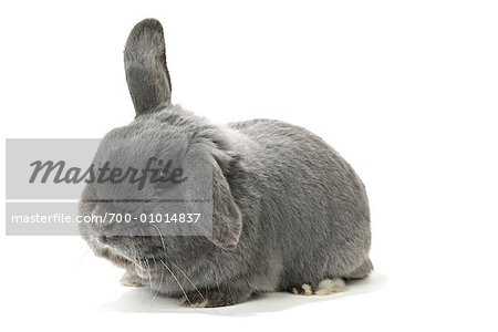 Lop-Eared Rabbit Stock Photo - Rights-Managed, Image code: 700-01014837