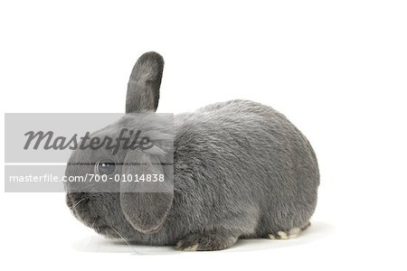 Lop-Eared Rabbit Stock Photo - Rights-Managed, Image code: 700-01014838