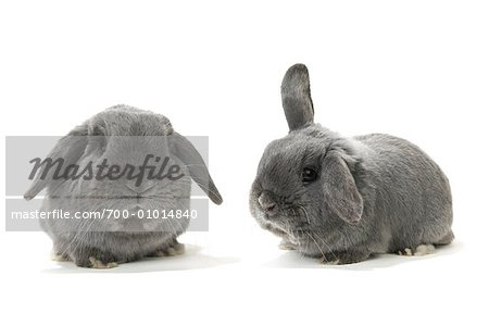 Two Lop-Eared Rabbits Stock Photo - Rights-Managed, Image code: 700-01014840