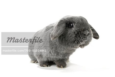 Lop-Eared Rabbit Stock Photo - Rights-Managed, Image code: 700-01014841