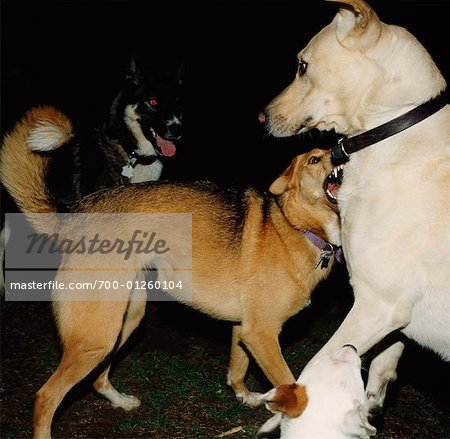 Dogs Stock Photo - Rights-Managed, Image code: 700-01260104
