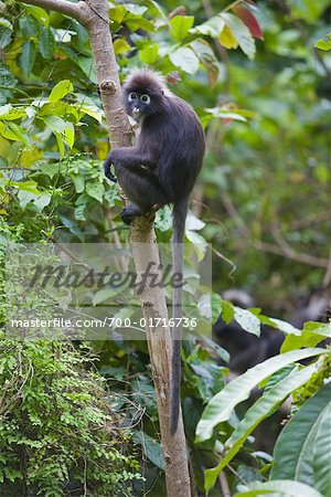 Portrait of Dusky Leaf Monkey, Mount Raya, Langkawi Island, Malaysia Stock Photo - Rights-Managed, Image code: 700-01716736