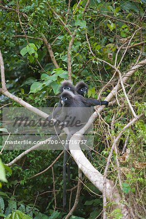 Portrait of Dusky Leaf Monkeys, Mount Raya, Langkawi Island, Malaysia Stock Photo - Rights-Managed, Image code: 700-01716737