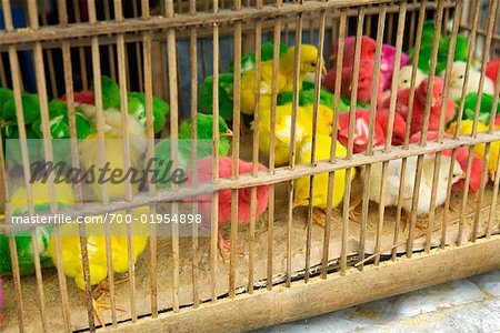 Dyed Chicks at Pasar Ngasem, Yogyakarta, Central Java, Java, Indonesia Stock Photo - Rights-Managed, Image code: 700-01954898