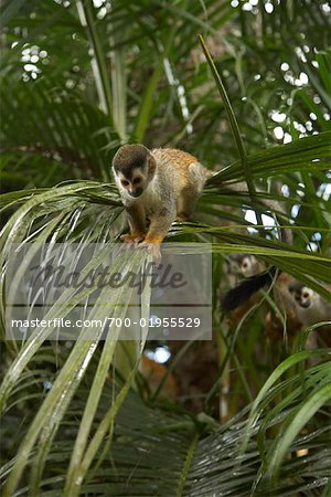 Monkeys in Tree, Manuel Antonio National Park, Puntarenas Province, Costa Rica Stock Photo - Rights-Managed, Image code: 700-01955529