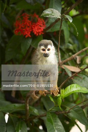 Monkey in Tree, Manuel Antonio National Park, Puntarenas Province, Costa Rica Stock Photo - Rights-Managed, Image code: 700-01955530