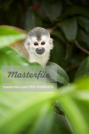 Monkey in Tree, Manuel Antonio National Park, Puntarenas Province, Costa Rica Stock Photo - Rights-Managed, Image code: 700-01955531