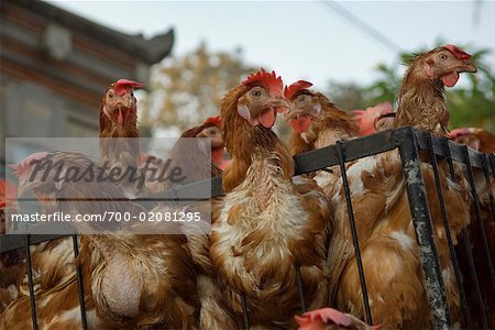 Chickens for Sale, Ubud, Bali, Indonesia Stock Photo - Rights-Managed, Image code: 700-02081295