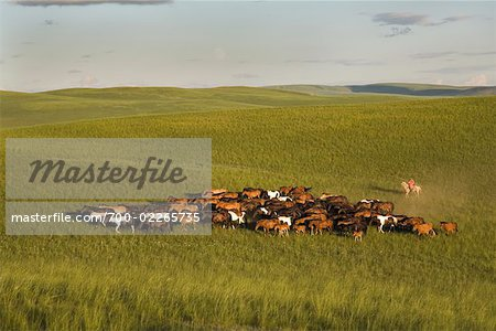 Horseman With Herd of Horses, Inner Mongolia, China Stock Photo - Rights-Managed, Image code: 700-02265735