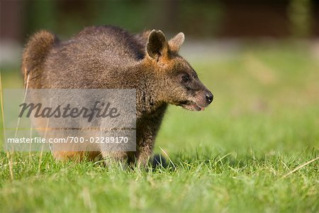 Portrait of Red-necked Wallaby