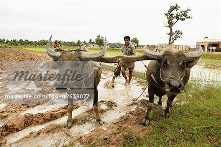 Oxen Tilling Paddy Fields, Cambodia Stock Photo - Rights-Managed, Image code: 700-02638077