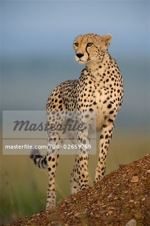 Cheetah Standing on Termite Mound Stock Photo - Rights-Managed, Image code: 700-02659769