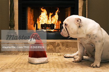 English Bulldog Sitting in Front of Fireplace, Looking at Santa Hat Stock Photo - Rights-Managed, Image code: 700-02659926