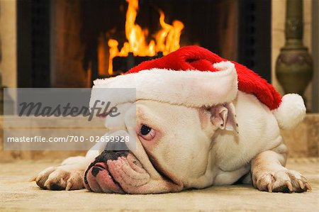 English Bulldog Wearing Santa Hat Stock Photo - Rights-Managed, Image code: 700-02659928