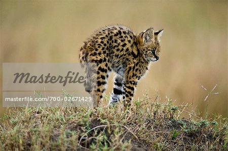 Serval Kitten Stock Photo - Rights-Managed, Image code: 700-02671429