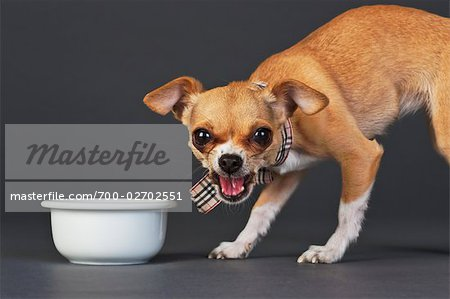 Portrait of Chihuahua with Dog Bowl Stock Photo - Rights-Managed, Image code: 700-02702551