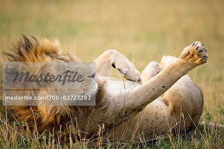 Lion, Masai Mara, Kenya Stock Photo - Rights-Managed, Image code: 700-02723203