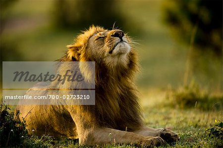 Lion, Masai Mara, Kenya Stock Photo - Rights-Managed, Image code: 700-02723210