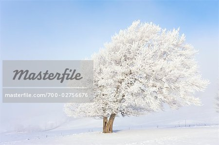 Beech Tree in Early Morning Fog in Winter, Black Forest, Baden-Wuerttemberg, Germany Stock Photo - Rights-Managed, Image code: 700-02756676