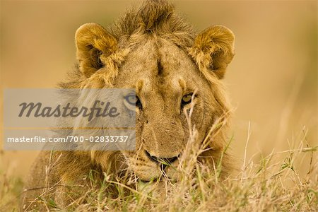 Close-up of Male Lion, Masai Mara, Kenya, Africa Stock Photo - Rights-Managed, Image code: 700-02833737