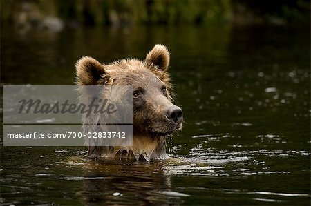 Young Female Grizzly Bear Searching for Salmon, Glendale River, Knight Inlet, British Columbia, Canada Stock Photo - Rights-Managed, Image code: 700-02833742