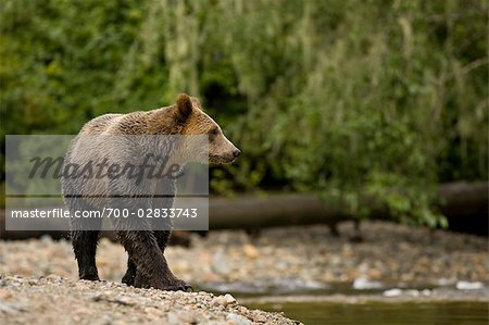 Young Male Grizzly Bear Walking Along Glendale River, Knight Inlet, British Columbia, Canada Stock Photo - Rights-Managed, Image code: 700-02833743