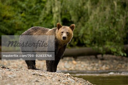 Young Male Grizzly Bear Standing by Glendale River, Knight Inlet, British Columbia, Canada Stock Photo - Rights-Managed, Image code: 700-02833744