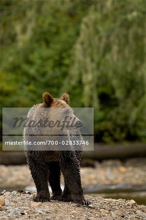 Young Male Grizzly Bear Standing by Glendale River, Knight Inlet, British Columbia, Canada Stock Photo - Rights-Managed, Image code: 700-02833746