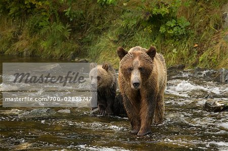 Mother Grizzly Bear and Cub in the Glendale River, Kinght Inlet, British Columbia, Canada Stock Photo - Rights-Managed, Image code: 700-02833747