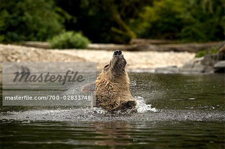 Male Grizzly Shaking the Water Out of His Ears, Glendale River, Knight Inlet, British Columbia, Canada Stock Photo - Rights-Managed, Image code: 700-02833748